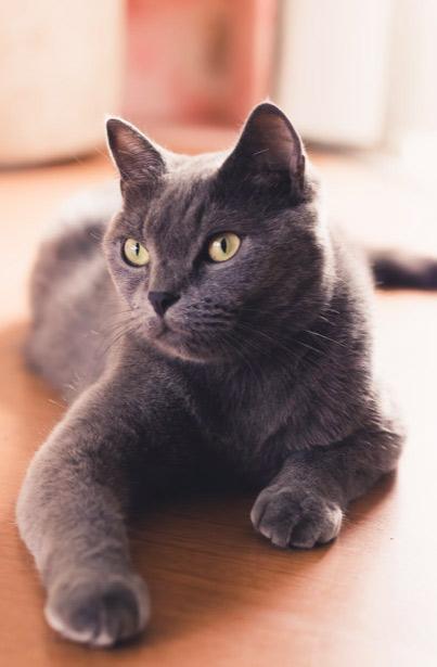 Photographie d'un chat chartreux prise à Tours lors d'un portrait animalier